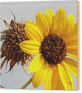 Sunflower Stages Wood Print