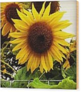 Sunflower Sunshine Wood Print