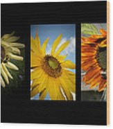 Sunflower Trio  Wood Print