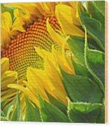 Sunflower Unfolding  Wood Print