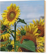 Sunflowers 1 2013 Wood Print by Edward Sobuta