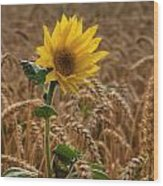 Sunflowers At Corny Wood Print