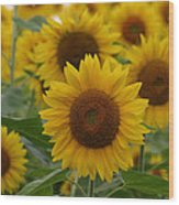 Sunflowers At The Farm Wood Print