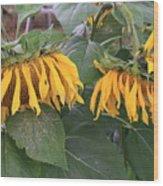 Sunflowers Faded Bloom Series - Image--sfwbix Wood Print