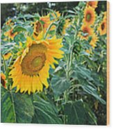 Sunflowers For Wishes Wood Print
