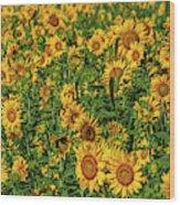 Sunflowers Helianthus Annuus Growing Wood Print