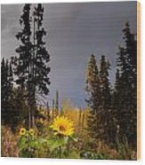 Sunflowers In Northern Garden In Fall Wood Print