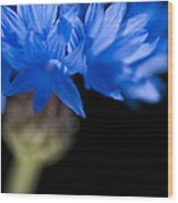 Sunkissed Cornflower Wood Print