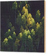 Sunlight Highlights Aspen Trees Wood Print