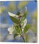 Sunlit Dogwood Blossoms Wood Print
