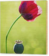 Sunlit Poppy Wood Print