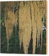 Sunlit Spanish Moss Wood Print