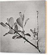 Sunlit Sprig Of Leaves In Black And White Wood Print by Natalie Kinnear