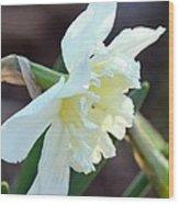 Sunlit White Daffodil Wood Print