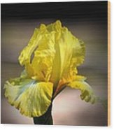 Sunlit Yellow Iris Wood Print