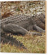 Sunning Alligator. Wetlands Park. Wood Print