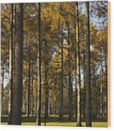 Sunny Larch Grove Wood Print
