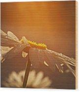 Sunset Daisy Wood Print