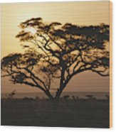Sunset Through A Silhouetted Acacia Wood Print