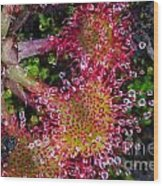 Sundew Wood Print