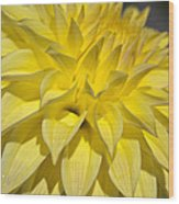 Sunshine Dahlia Wood Print