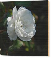 Sunshine White Rose Wood Print