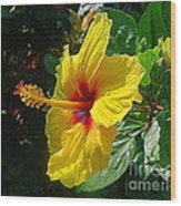 Sunshine Yellow Hibiscus With Red Throat Wood Print