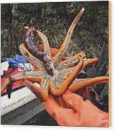 Sunstar Feeds On Sea Cucumber Wood Print