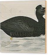 Sure Scoter Wood Print