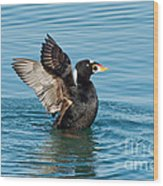 Surf Scotter Male Wings Wood Print