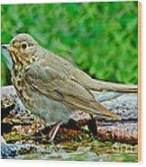 Swainsons Thrush Wood Print