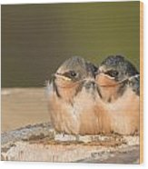 Swallow Chicks Wood Print