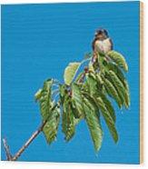 Swallow Sitting On Cherry Tree Branch Wood Print