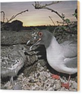 Swallow-tailed Gull And Chick In Pebble Wood Print by Tui De Roy