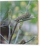 Swallowtail Caterpillars On Dillweed Wood Print