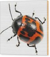 Swamp Milkweed Beetle Wood Print