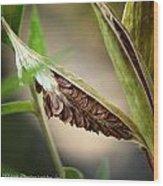 Swamp Milkweed Pod Wood Print