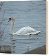 Swan A Swimming Wood Print