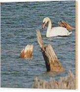 Swan Amid Stumps Wood Print