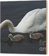 Swan And Signets Wood Print