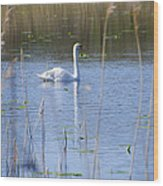 Swan At Derryallen Lough Wood Print