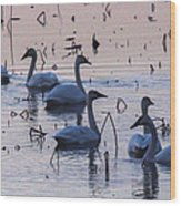 Swan At Dusk Wood Print