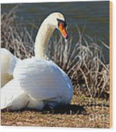Swan Protects Her Eggs Wood Print