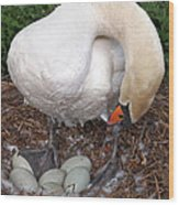 Swan Watching Over The Eggs Wood Print