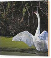 Swan Wings Spread Wood Print