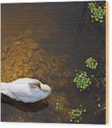 Swan With Sun Reflection On Water. Wood Print