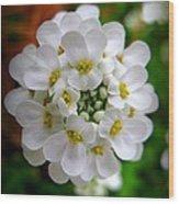 Sweet Alyssum Wood Print