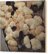 Sweet Baby Chicks For Sale Wood Print