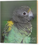 Sweet Baby Meyers Parrot Wood Print