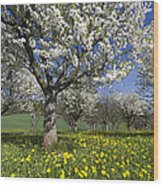 Sweet Cherry Orchard In Full Bloom Wood Print